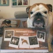 Bulldoggerek fotózás