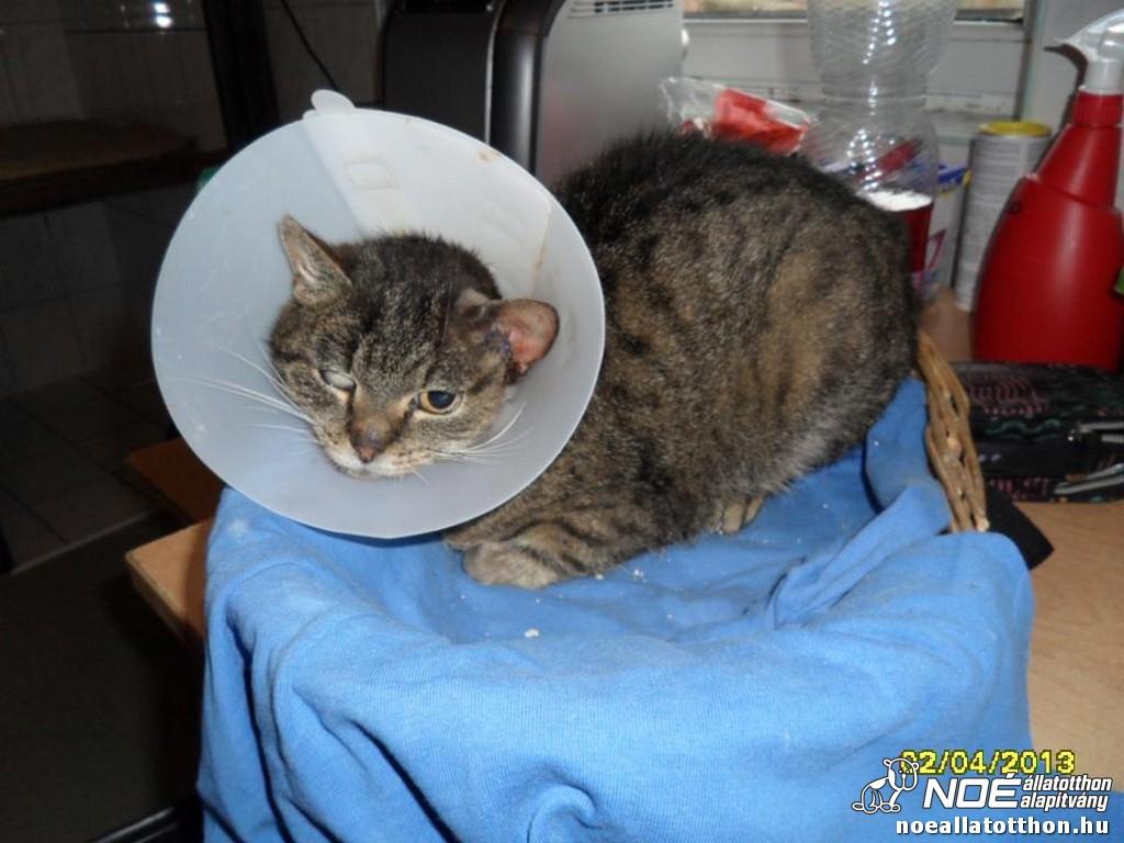 a macska rosszindulatú daganata)