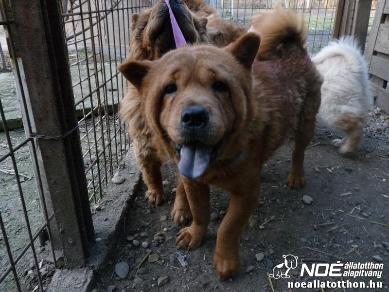 Noah Tierheim Ungarn | Chow-Chow Invasion im NOAH Tierheim ...  Noah Tierheim U...