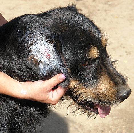 Nyílt seb kezelése kutyáknál